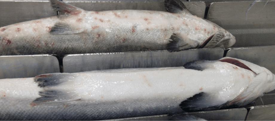 Salmones afectados por Caligus. Foto: Archivo Salmonexpert.