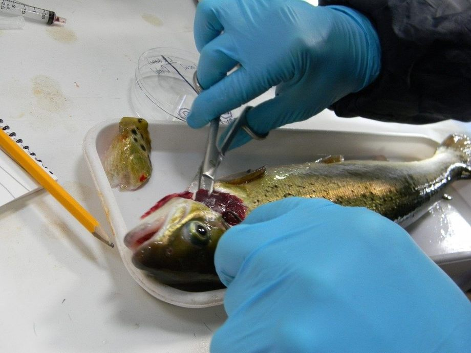 Dissecting gills of an Atlantic salmon infected with AGD. Image: Sophie Fridman.