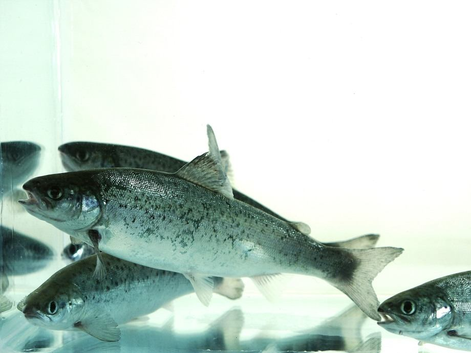 Scottish Sea Farm says when the new hatchery is built it will enable the company to raise production of smolts from five million to 11 million annually.