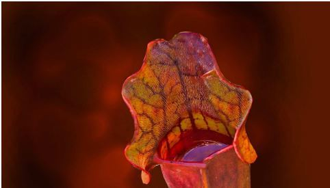 The slippery tactics of the carnivorous pitcher plant led scientists to a solution to biofouling. Photo: University of Sydney