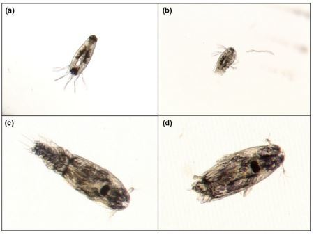 Photos showing L. salmonis nauplii (a, b) and copepodites (c, d), before (a, c) and after exposure to ultrasonic cavitation (b, d). Post-exposure individuals shown here were split in half and were without self-motion. Photos: Sintef