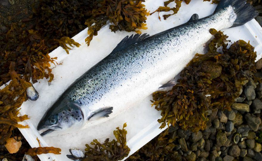 Scottish salmon production fell short of the 177,000 tonnes projected for 2016. Photo: SSPO