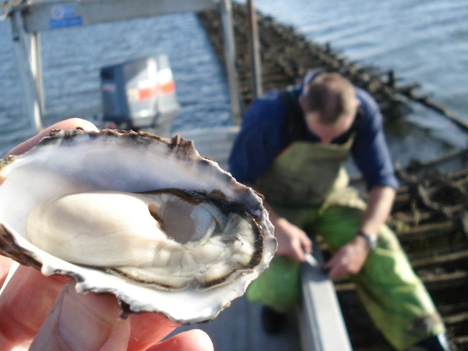 A Pacific Oyster from a farm in Tasmania. Image: Ian Duthie/Oysters Tasmania