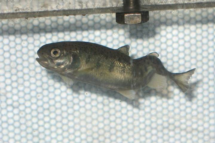A severe spinal deformity caused by whirling disease in a fish. Image: Colorado Parks & Wildlife