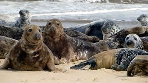 Seals are protected under Scottish law but the Scottish Government grants licences for the shooting of problem animals.