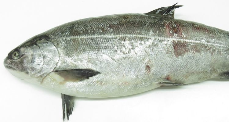 Reference image of a coho salmon with SRS.