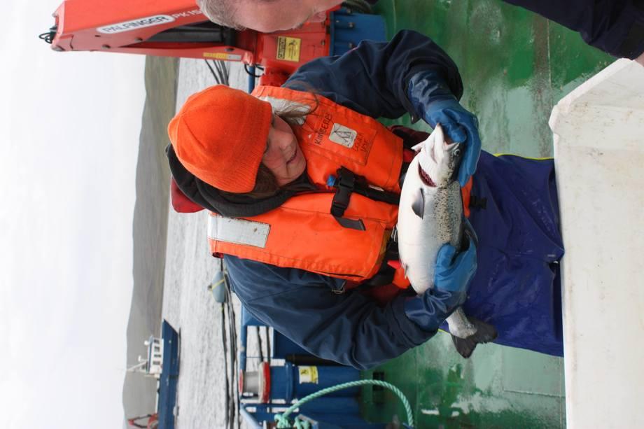 Conducting a sea louse count. Image: Rob Fletcher.