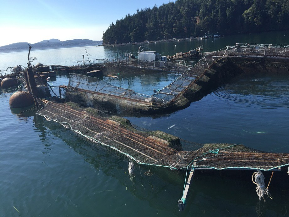 The collapse of Cypress Island No.2 was the catalyst for a state onslaught against Cooke Aquaculture Pacific. Photo: King5