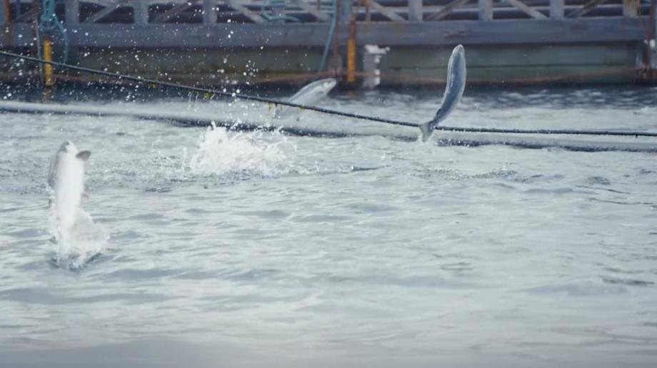 Salmon leaping at one of SSC's 45 marine sites, all of which are now BAP certified. Image: SSC