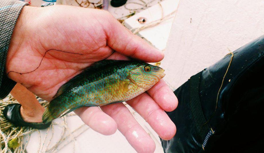 Leppefisk har gjennom flere år blitt importert fra Sverige. Foto: Tonje Knutsen Sørdalen / HI.
