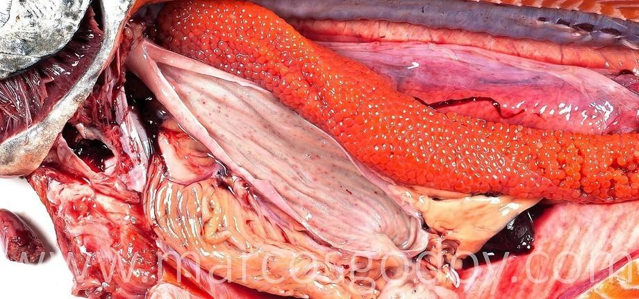 Salmón chinook (Oncorhynchus tshawytscha), afectado por cuadro crónico de P. salmonis. Se observan múltiples hemorragias y úlceras en la mucosa gástrica. Foto: Marcos Godoy.