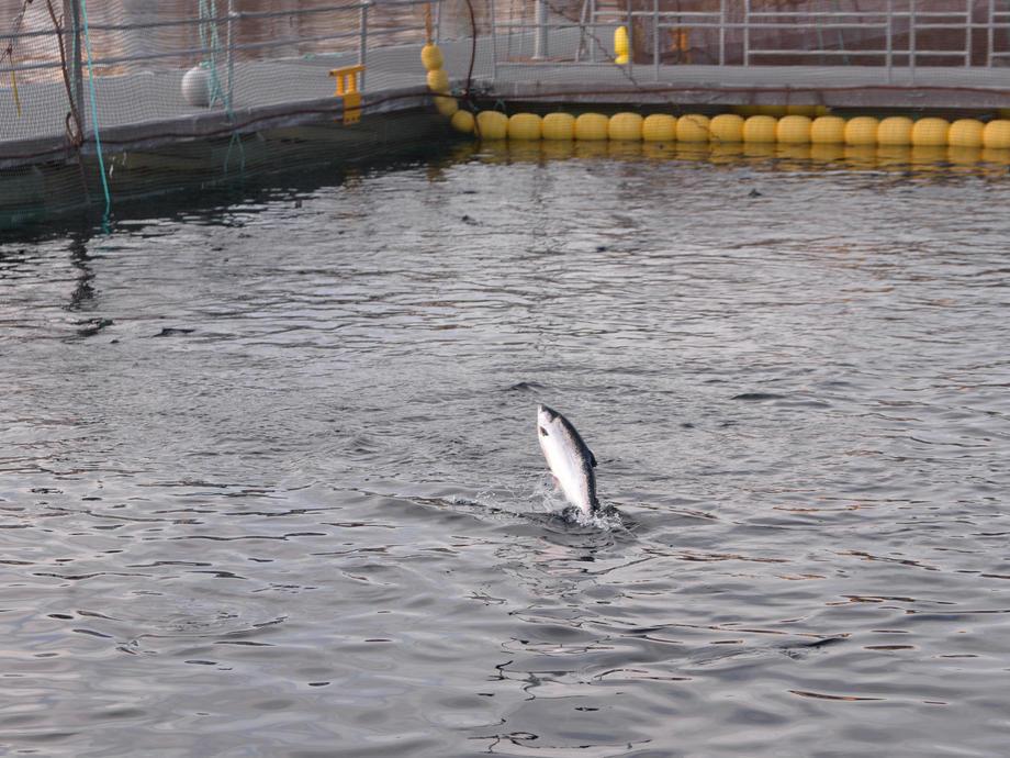 Lerøy Seafood Group slaktet 4 000 tonn mindre enn guidet i fjerde kvartal 2018. Ilustrasjonsfoto.