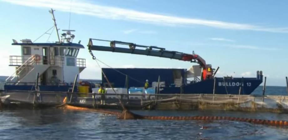 The first yellowtail kingfish grown at a trial site four miles off the Australian coast have been harvested by Huon. Video grab: Huon