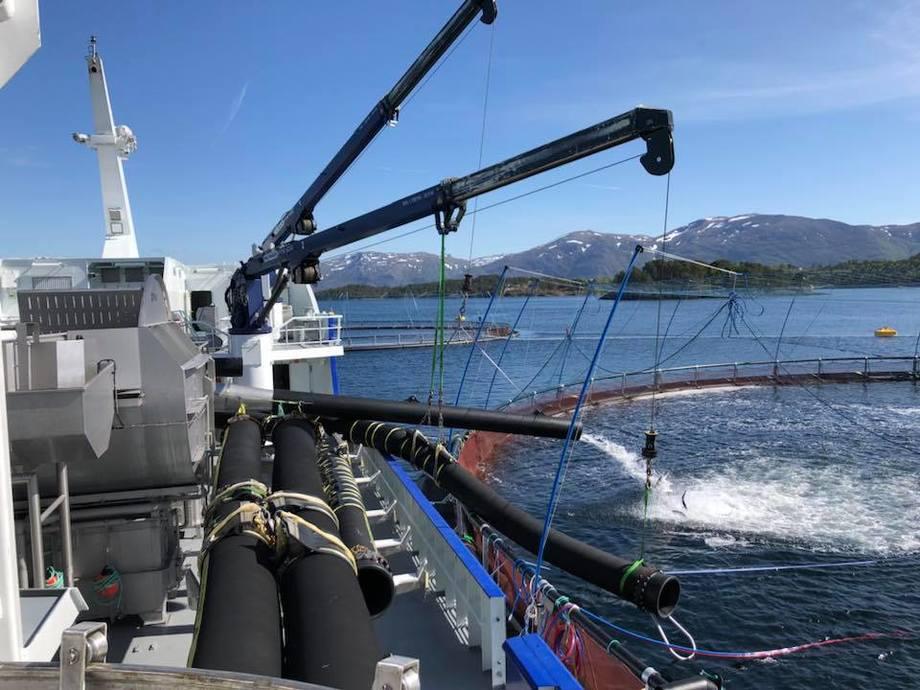 Fra minste sortering av laks. Her bli fisken pumpet over i en 160- metring, med en not som er 38 meter dyp. Foto: Elin Tveit Sveen.