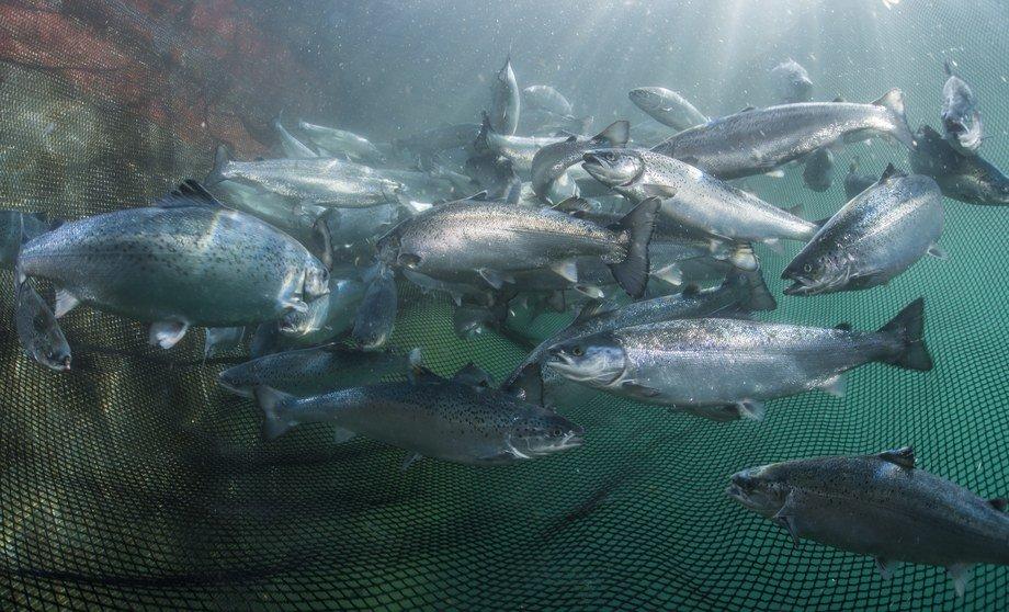 Veramaris vil i sitt første produksjonsår produsere omega 3 fra alger nok til å dekke 15 % av laksenæringens behov. Foto: Veramaris / Uli Kunz.