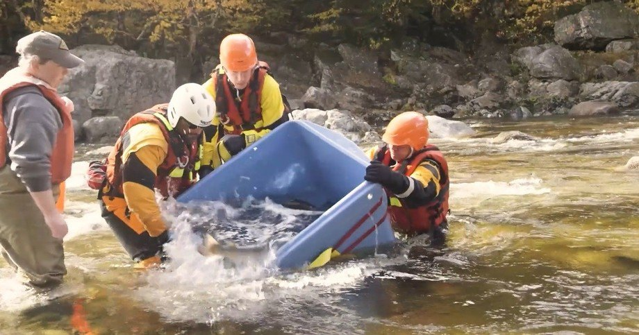 Wild salmon captured as juveniles and grown on by Cooke are returned to the river to spawn. Photo: FSR