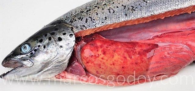 Salmón Atlántico afectado por cuadro visceral de SRS. Se observa la presencia de hiperemia de la grasa visceral e hígado. Foto: Marcos Godoy.