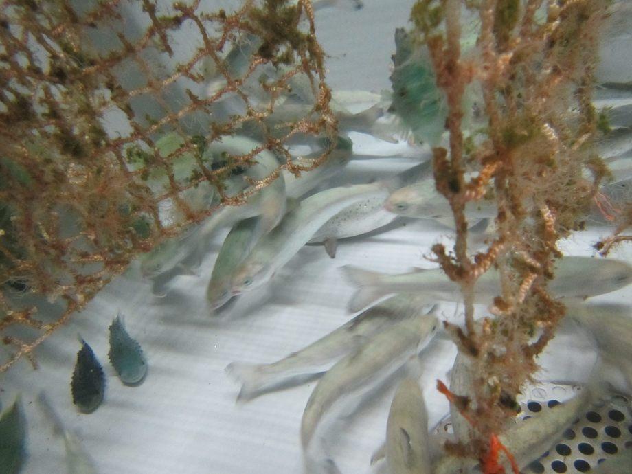 I prosjektet undersøkes potensialet som begroingsorganismer kan ha som smittereservoar for forskjellige laksepatogener. Foto: Forsker ved Uni Research Miljø, Trond Einar Isaksen.