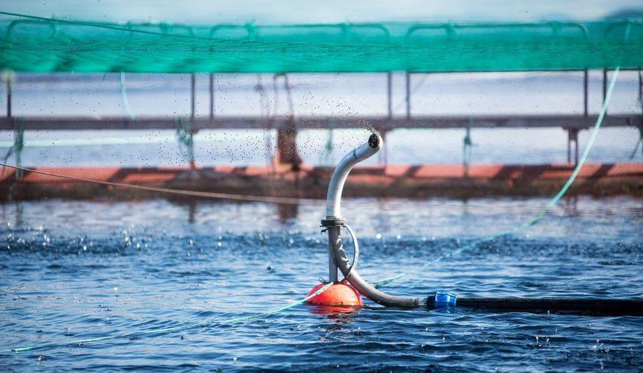 Havforskningsinstituttet har analysert laksefôr og fôringrediensar. Foto: Havforskningsinstituttet.