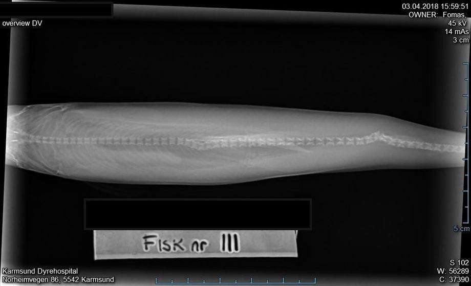 Bildet viser skader på ryggrad som følge av elektrisk strøm i kar. Røntgen tatt hos Karmsund Dyrehospital.