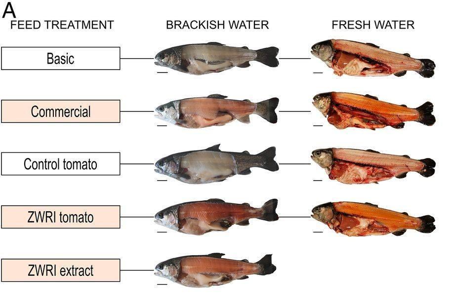 Diferencias en el color de los filetes dependiendo de la dieta. Se puede apreciar la mayor intencidad de color en los peces alimentados con el tomate genéticamente modificado (ZWRI). Foto: modificado de Nogueira y col., 2017.