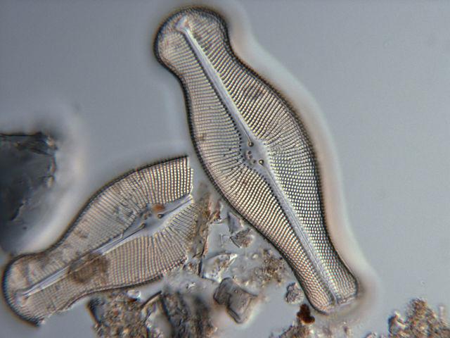 Didymosphenia geminata. Foto: Wikimedia commons.