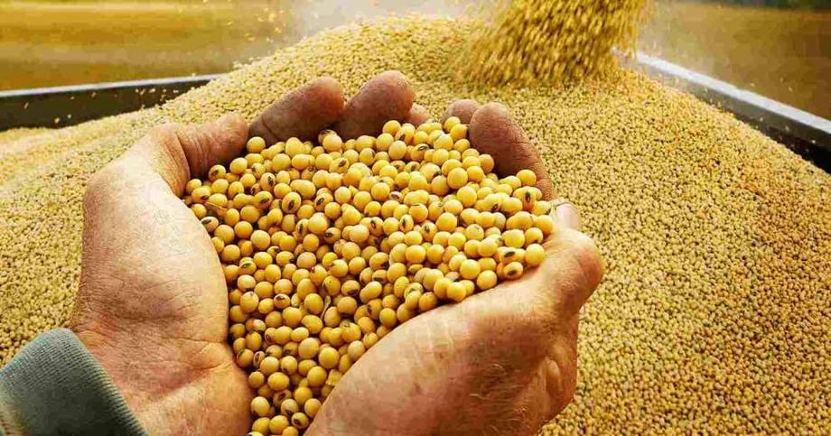 De acuerdo con Rabobank, el suministro de harina de soya para el tercer trimestre de 2018 será suficiente. Imagen: Agraria.pe.
