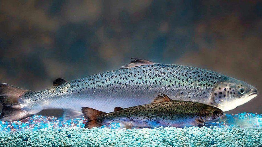 El salmón de AquaBounty alcanza el tamaño del mercado en casi la mitad del tiempo, lo que hace que la producción en tierra sea más viable. Foto: AquaBounty