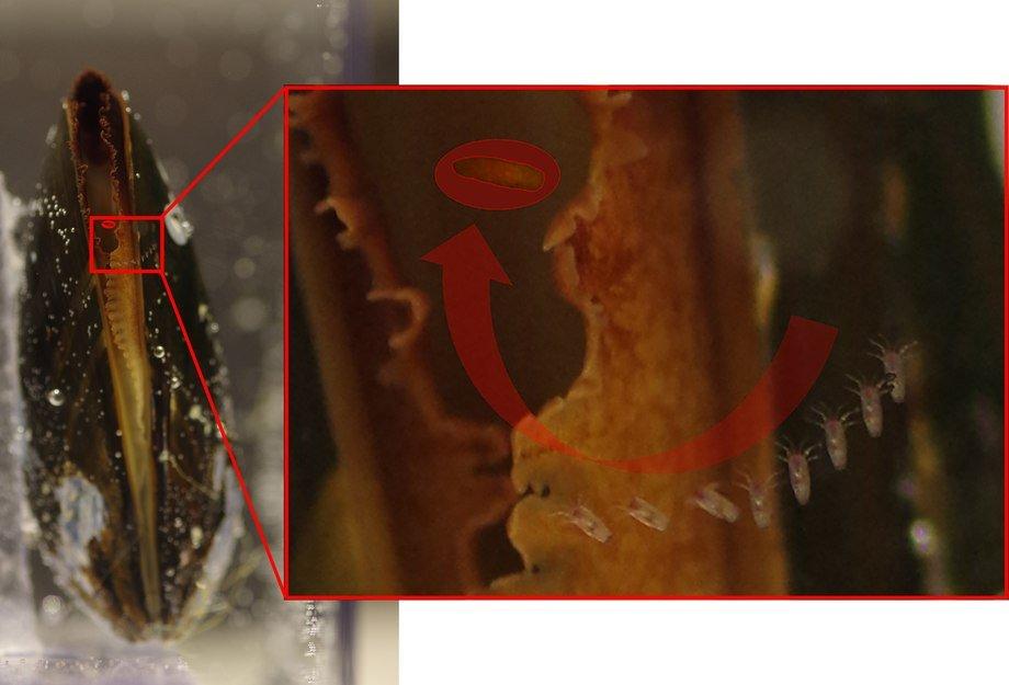 : Bildemontasjen (fra 9 bilder) viser et blåskjell som fanger en naupliuslarve. Denne naupliuslarven hoppet ikke unna, men ble sugd rett inn i blåskjellet (sist sett: markert med rød ring). Hele hendelsesforløpet tok i underkant av ett sekund. Det er 1/10 sekund mellom hvert bilde.