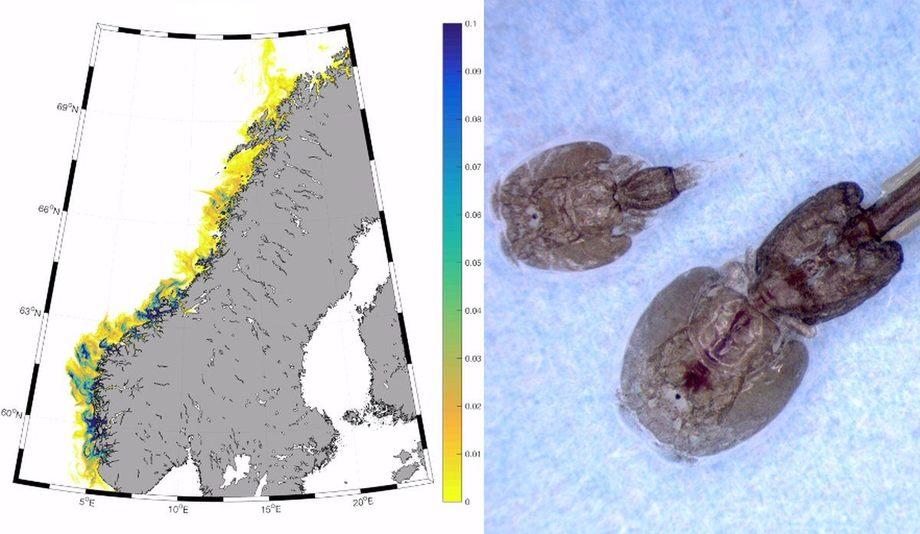Forsker Mari Myksvoll sier resultatene er et nytt kvalitetsstempel på lakselusmodellen. Foto: Havforskningsinstituttet.