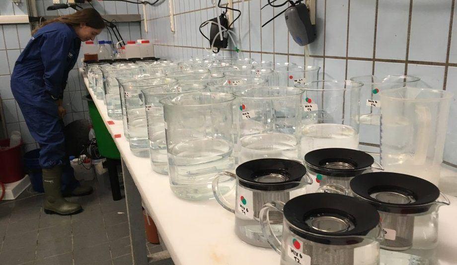 I dette forsøket med hydrogenperoksid undersøker forskerne hvordan hummeryngel blir påvirket om de utsettes for stoffet. Foto: Ann-Lisbeth Agnalt, havforskningsinstituttet.
