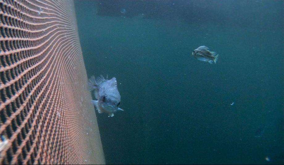 Rognkjeksen er en presis, men ikke veldig rask svømmer. Foto: Erlend Astad Lorentzen/Havforskningsinstituttet.