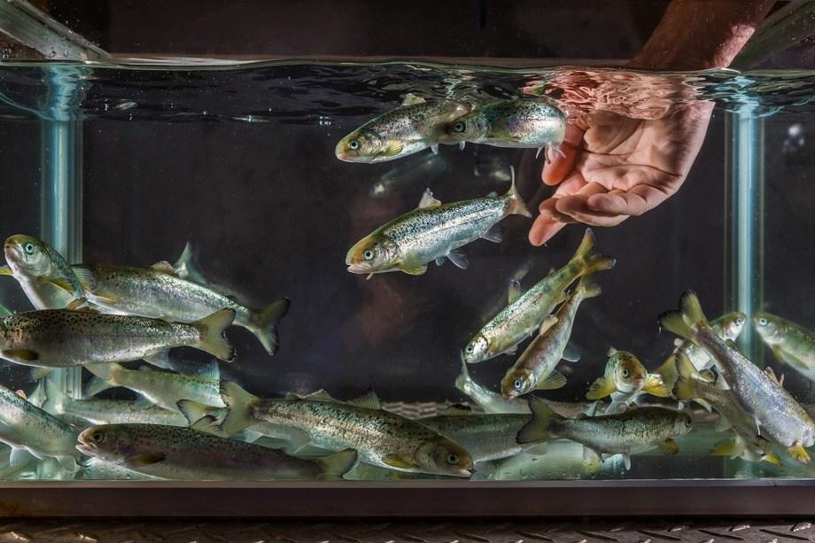 H-touch i praksis. Dyrevernalliansen har delt ut penger til et NMBU-prosjekt der man bl.a. ønsker å studere fiskens kapasiteter på individnivå for å se hvordan man kan forbedre velferden. Illustrasjonsfoto: Terje Aamodt, Nofima.