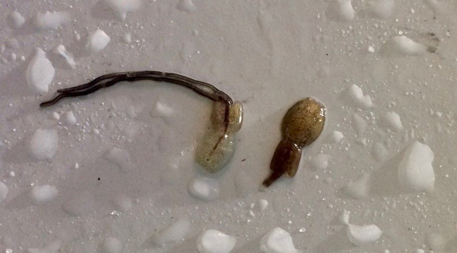 A translucent salmon lice seen next to a darker salmon lice. Photo: Norwegian Food Safety Authority.