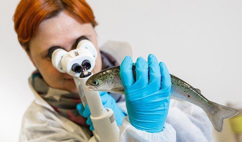 Nofima-forsker Jelena Kolarevic slår fast at oppdrettere har stort fokus på laksens ve og vel. Her tar hun prøver under CTRL Aqua-prosjektet. Foto: Terje Aamodt, Nofima.