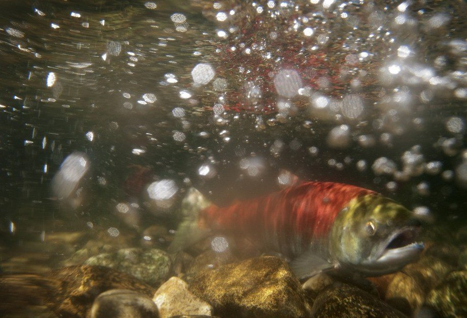 Wild salmon swimming in BC waters. Image: Province of BC.