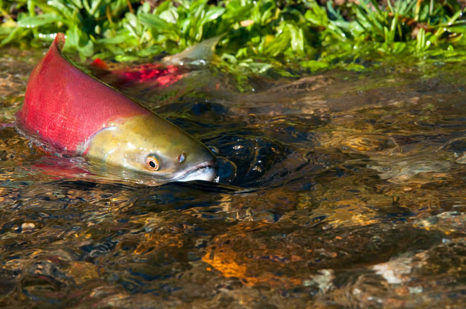 Canadian salmon swims up stream. Image: Department of Fisheries and Oceans/Canada