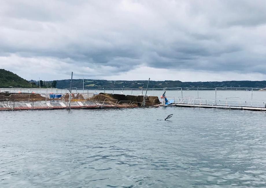 En la imagen, salmón escapado saltando fuera del agua en los alrededores del centro Tubildad. Foto: Sernapesca.