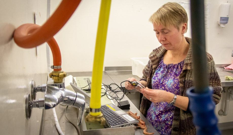 Guldborg Søvik undersøker noen av prøvene som kom inn i fjor høst. Foto: Torhild Dahl.