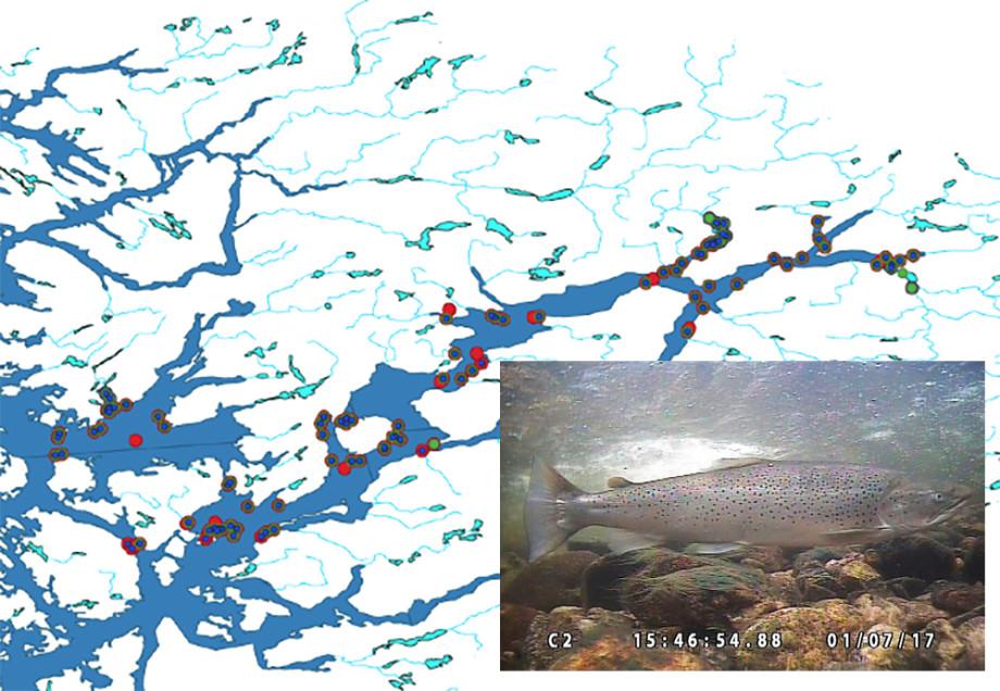 Kart som viser alle lyttebøyer i SALT2020 og registreringer så langt i Hardangerfjorden, der deteksjoner av ørret (grønn prikk) og laks (blå prikk) er angitt. Rød sirkel er punkt for innsamling av vertikalprofiler for salinitet og temperatur. Fisken er en sjøørret med estimert kroppslengde på ca. 85 cm som vandrer opp i Granvinvassdraget den 1. juli 2017.