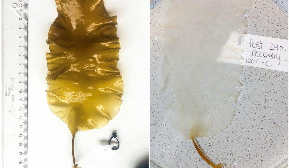 Sukkertareplanten til høgre blei utsett for ein dødeleg behandlingsdose hydrogenperoksid. Eit døgn etter eksponeringa er planten gjennomsiktig. Foto: Barbro Taraldset Haugland.