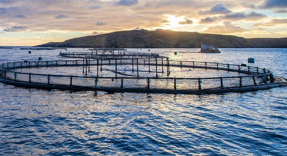 Mowi Scotland harvested 19,500 tonnes of salmon in the third quarter of this year. Photo: Mowi.