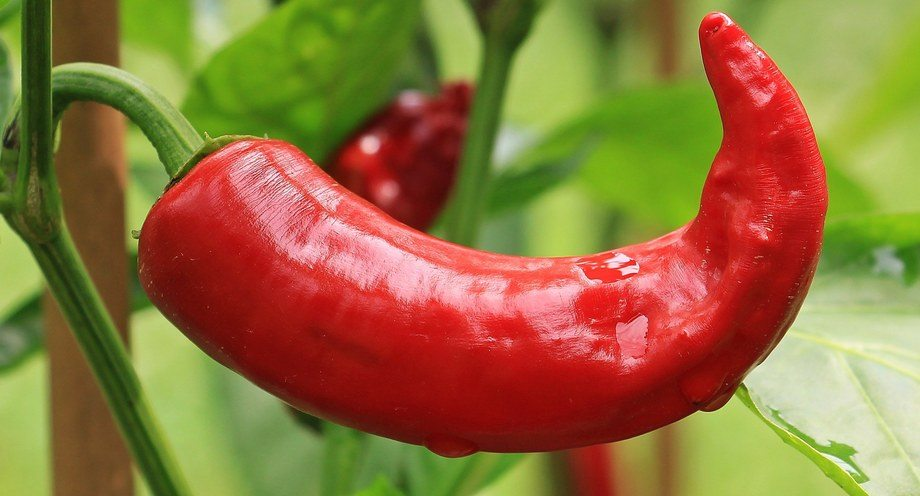 The 1% inclusion of chilli oil in feed showed a positive effect on yield, growth and and fish health. Photo: Pixabay.