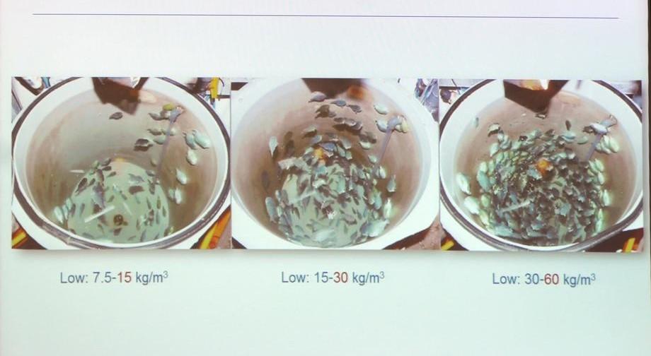 Rognkjeks ble testet for fiskevelferd ved ulike tettheter. Illustrasjon: Nofima.