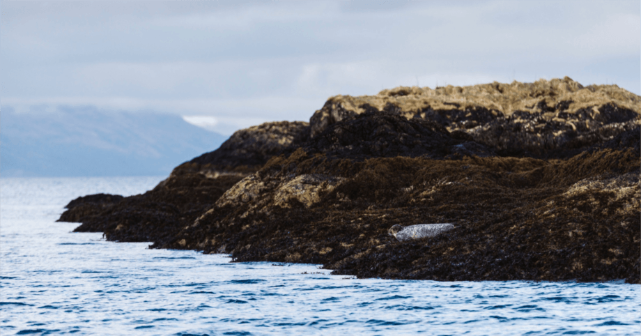 A seal on rocks in the Lismore area of the west coast of Scotland, one of SSF's farming locations. Photo: SSF.