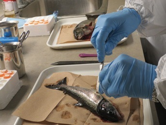 Necropsy of Atlantic salmon to detect the presence of infectious salmon anemia. Image: DFO/Canada