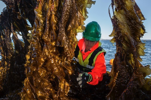 Ansatt i selskpet Seaweed Energy Solution AS høster tare. Foto: Seaweed Energy Solutions AS.