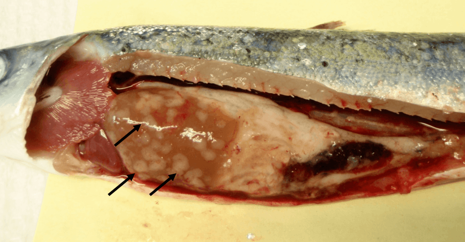 Makroskopisk bilde fra laks som viser knuter/granulomer i lever (sorte piler) på grunn av mykobakterieinfeksjon. Foto: Mulualem Adam Zerihun.