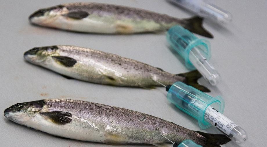 Resultater fra et nytt prosjekt på sedasjon av smolt viser at sedasjon påvirker stressresponsen til fisk og til en viss grad osmoreguleringen. Fisken ble tatt blodprøve av ukentlig. Foto: Nofima/ Tor Evensen.