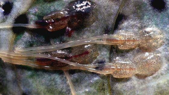Treatments with water at -1°C for 10 minutes and 1°C for 240 minutes reduced the loads of mobile lice, but created damage to the skin and eyes of the salmon. Photo: Marine Research Institute.